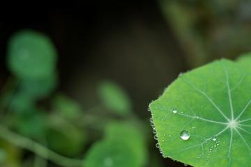 As gotas nas margens das folhas representam a gutação
