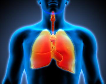 O sistema respiratório está relacionado com as trocas gasosas