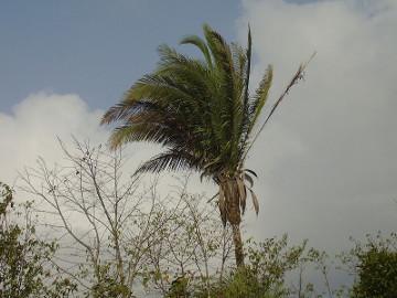 O babaçu pode ser utilizado na alimentação, indústria farmacêutica e até mesmo como matéria-prima para a produção de biocombustível