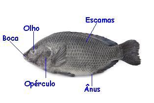 Os peixes ósseos apresentam várias características que permitem seu reconhecimento. Observe a presença do opérculo e sua boca na região anterior