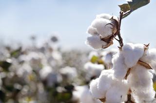 As fibras de algodão contam com 98% de celulose em sua constituição