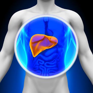 O fígado é um órgão anexo do sistema digestório que está relacionado com as mais variadas funções