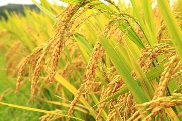 Para a produção de um quilo de arroz, são necessários 3000 litros de água