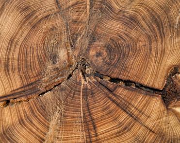 Os anéis de crescimento são formados pelo lenho primaveril e o lenho estival