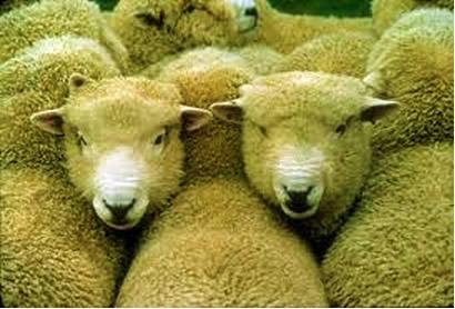 A lanolina é obtida por meio da lã dos carneiros
