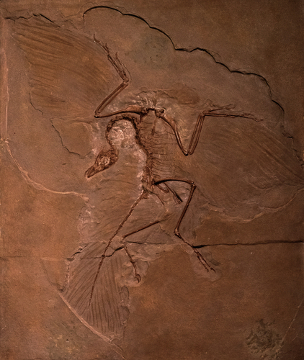O Archaeopteryx é considerado por muitos como a primeira ave