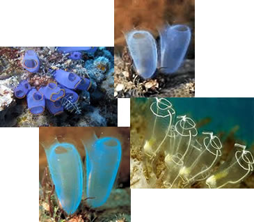 As larvas dos urocordados são livre-natantes; enquanto que os adultos são sésseis