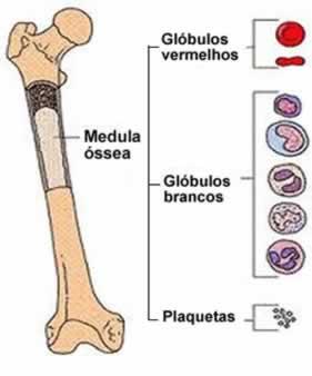 A medula óssea é a responsável pela produção das células que constituem o sangue
