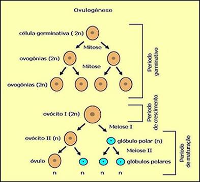 Esquema mostrando como ocorre a ovulogênese