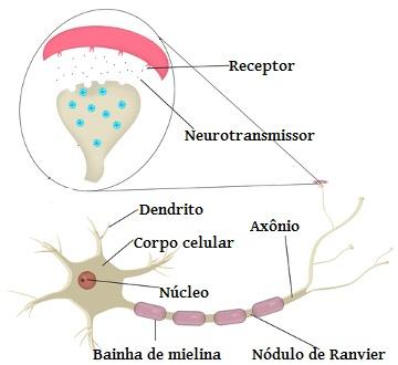 Observe atentamente as partes de um neurônio
