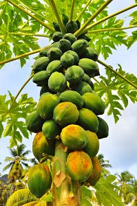 O mamão é típico de regiões tropicais e subtropicais
