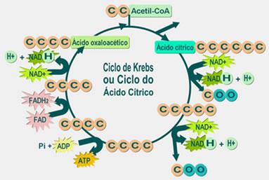 O ciclo de Krebs ocorre na matriz mitocondrial e foi descoberto pelo bioquímico Hans Adolf Krebs