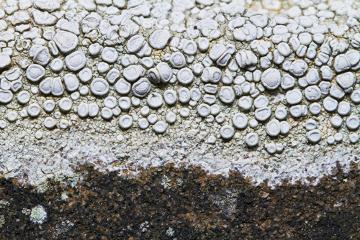 Observe um exemplo de líquen com talo crostoso