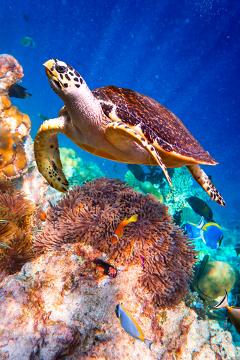 A tartaruga-de-pente é considerada a espécie mais tropical das tartarugas