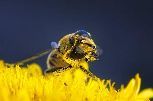 A abelha é um dos principais polinizadores existentes no planeta
