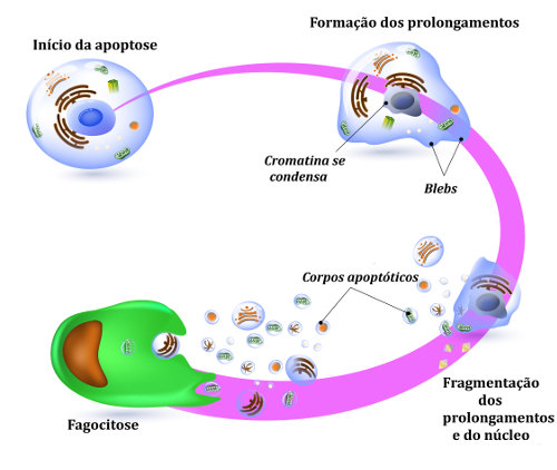 A apoptose, processo de morte programada de células, possui algumas etapas