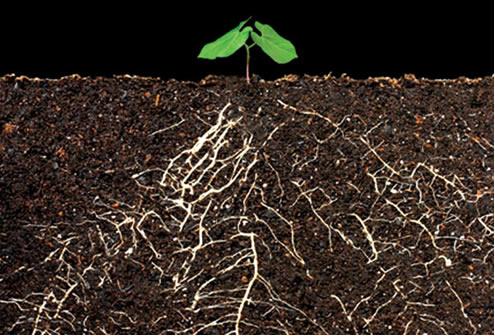 A ascensão da seiva nas plantas ocorre em razão do fenômeno da osmose