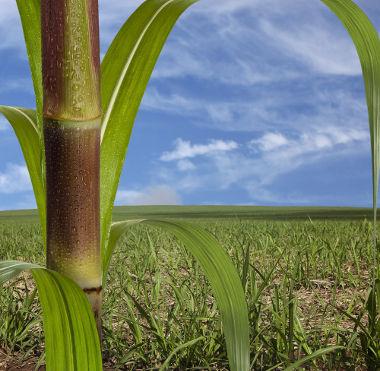 A cana-de-açúcar, durante muito tempo, foi o principal motor da economia brasileira