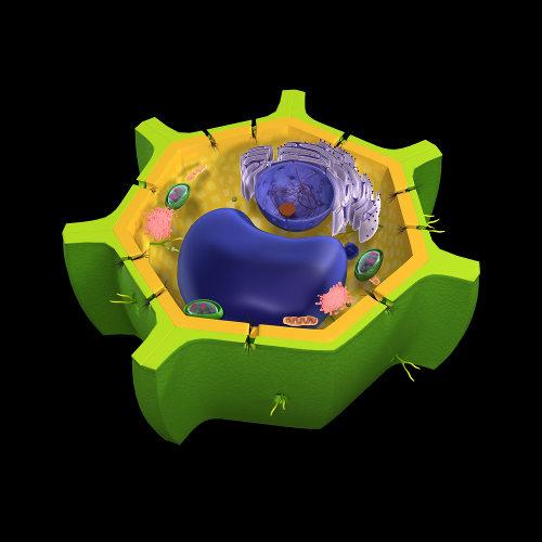 A célula vegetal apresenta uma parede celular rica em celulose