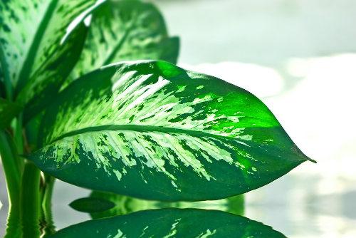 A comigo-ninguém-pode é uma planta ornamental que pode causar acidentes