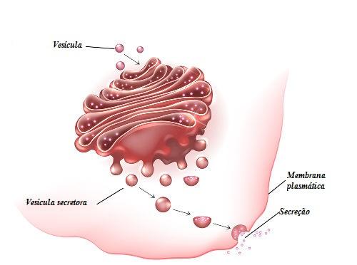 A exocitose é um processo em que ocorre a liberação de uma substância para o exterior da célula