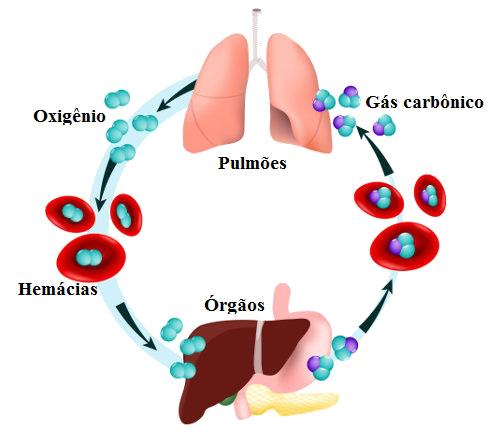 A hematose garante que o oxigênio chegue até os tecidos do corpo