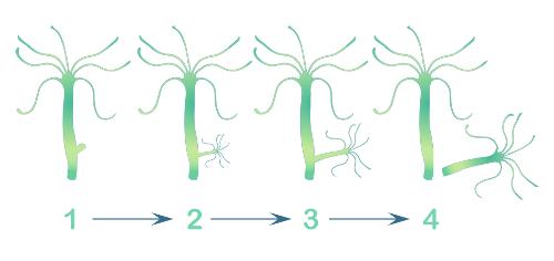 A hidra é um exemplo de organismo que se reproduz por brotamento