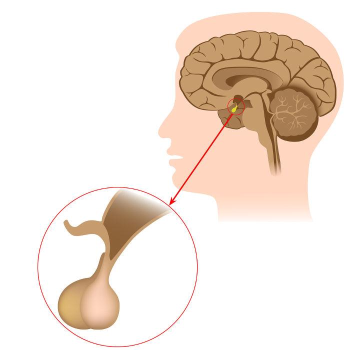 A hipófise é um exemplo de glândula endócrina