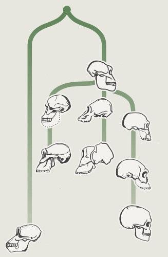 A história evolutiva do homem é complexa e repleta de espécies competindo por espaço