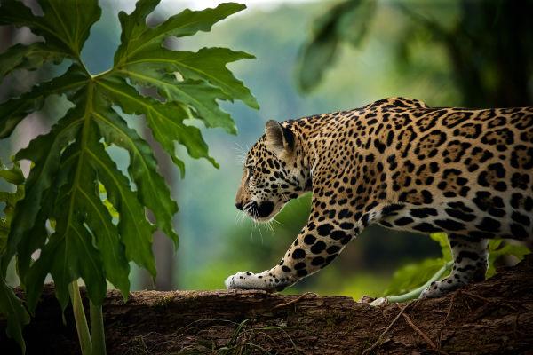 A onça-pintada é um animal que, atualmente, sofre com a ação humana, que causa a destruição de seu habitat.