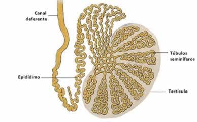 A orquite é uma inflamação no testículo e no epidídimo