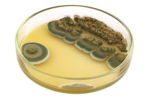 A penicilina é produzida a partir de fungos do gênero Penicillium