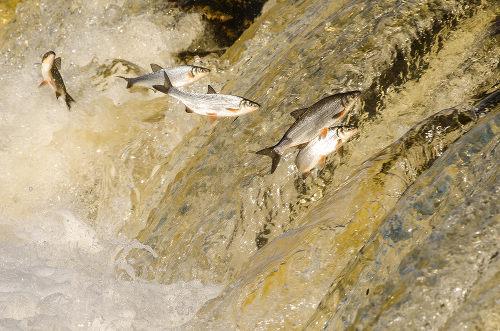 A piracema é a subida dos peixes até a cabeceira do rio para a reprodução