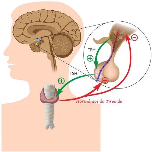 A secreção de hormônios tiroidianos obedece a um mecanismo de feedback negativo