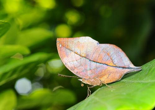 A semelhança com uma folha faz o bicho-folha geralmente passar sem ser notado