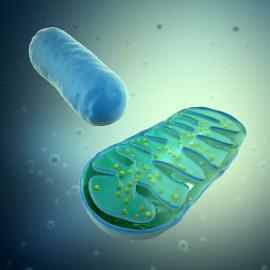 Algumas etapas da respiração celular ocorrem nessas organelas