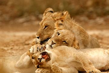 O leão é considerado vulnerável de acordo com a lista vermelha da IUCN
