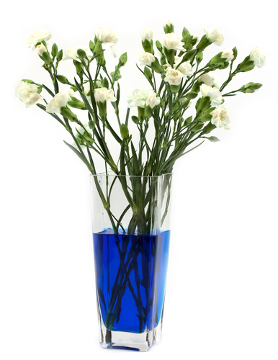 Coloque as flores brancas em um recipiente com água e anilina e observe a mudança de cor nas pétalas