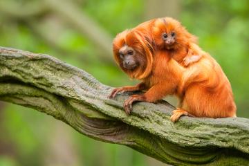 Qual é o habitat e o nicho ecológico do mico-leão-dourado? A resposta está no decorrer do texto