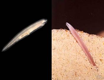 Os anfioxos medem poucos centímetros de comprimento e vivem enterrados em praias de areia grossa