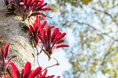 Algumas espécies de Bromeliaceae apresentam hábito epífito