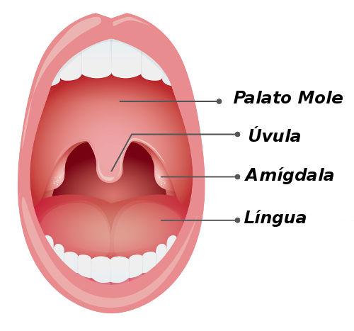 Amígdalas estão localizadas na parte oral da faringe