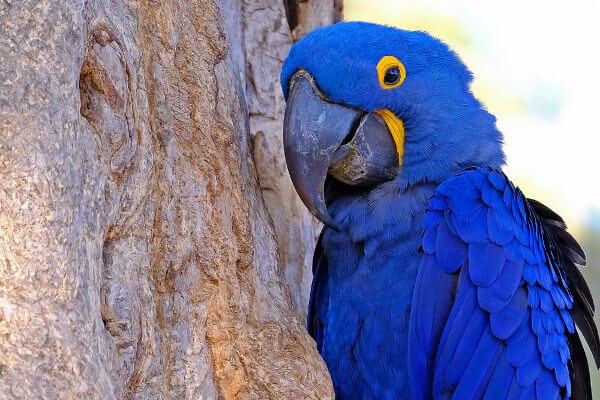 A arara-azul é uma espécie de arara de grande porte encontrada em nosso país.