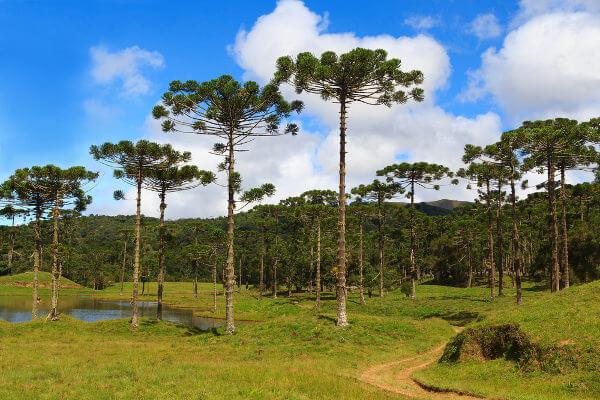 A araucária, também chamada de pinheiro-do-paraná, é um exemplo de gimnospermas.