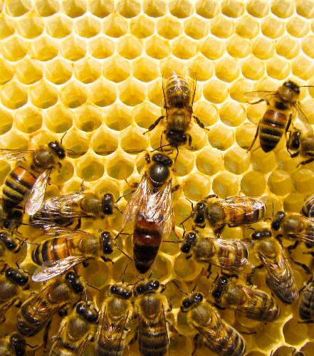As abelhas são um exemplo clássico de animais que vivem em sociedade