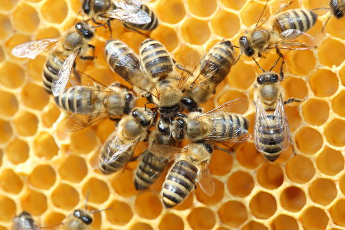 As abelhas vivem em sociedade, uma relação ecológica em que há divisão de trabalho