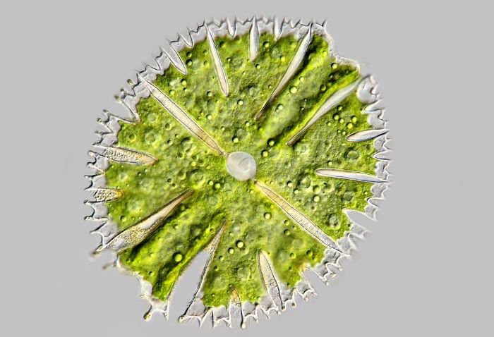 As algas fazem parte do fitoplâncton
