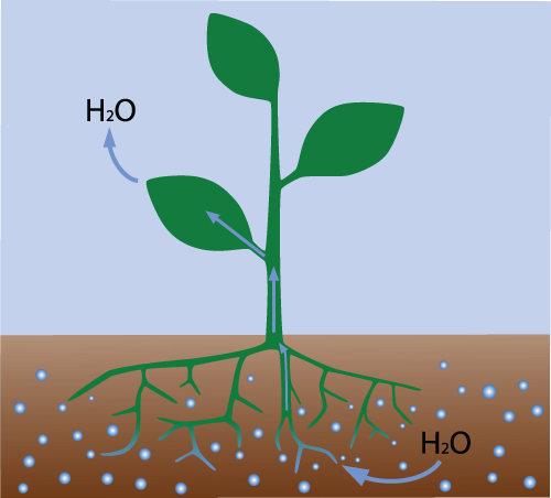 As plantas absorvem água do solo por intermédio de um processo conhecido como osmose