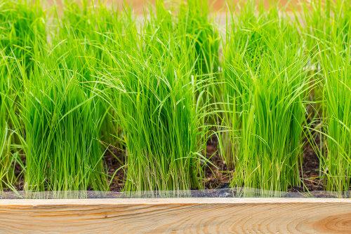 As plantas apresentam coloração verde em virtude da presença de clorofila