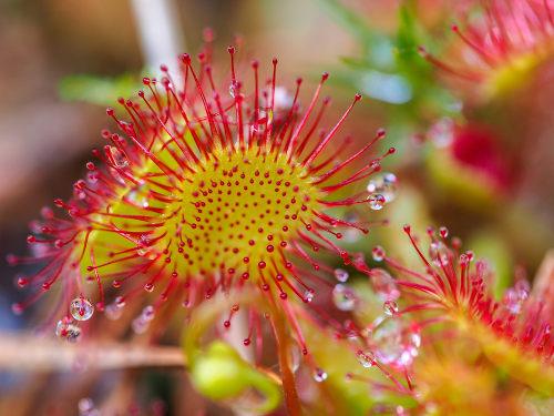As plantas carnívoras apresentam folhas modificadas com a função de captura de organismos
